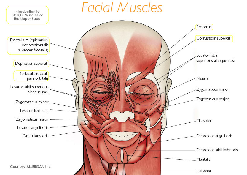 Facial Anatomy | Botox Training Free Resources
